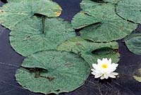 Fragrant Water Lily (Nymphaea odorata)