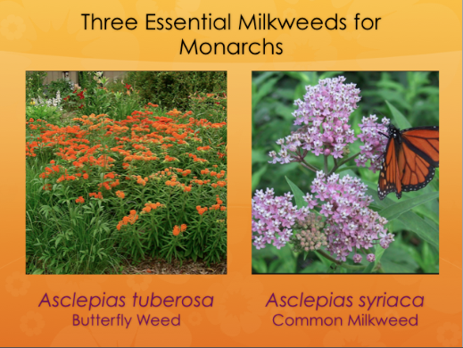 Three essential Milkweeds for Monarchs.