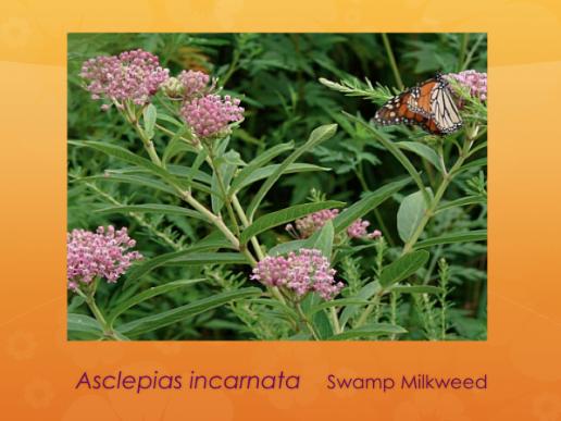 Swamp milkweed.
