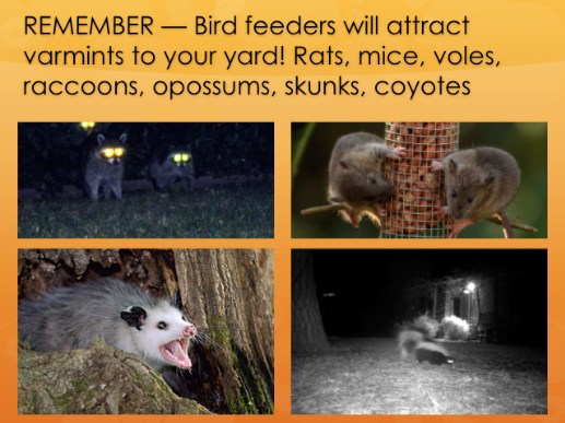 Remember, bird feeders will attract varmints to your yard! Rats, mice, voles, raccoons, opossums, skunks, soyotes.